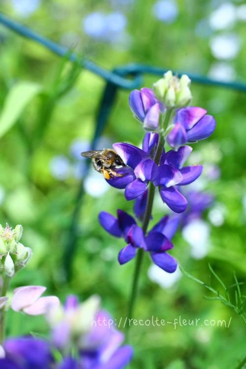 青い花 ルピナス