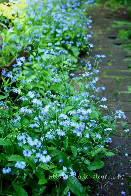 下の写真は数年前の我が家の通路です。この年は、忘れな草のこぼれ種がたくさん発芽した年でした。同じ場所でも年によって、自然に発芽する数は変ります。思いがけず出来た水色の道。色合わせをきっちりと考えて、それが見事に咲いた時は嬉しいけれど、こういう思いもよらない色合いが見られるのも園芸の楽しみのひとつ。自然からの贈り物です。
