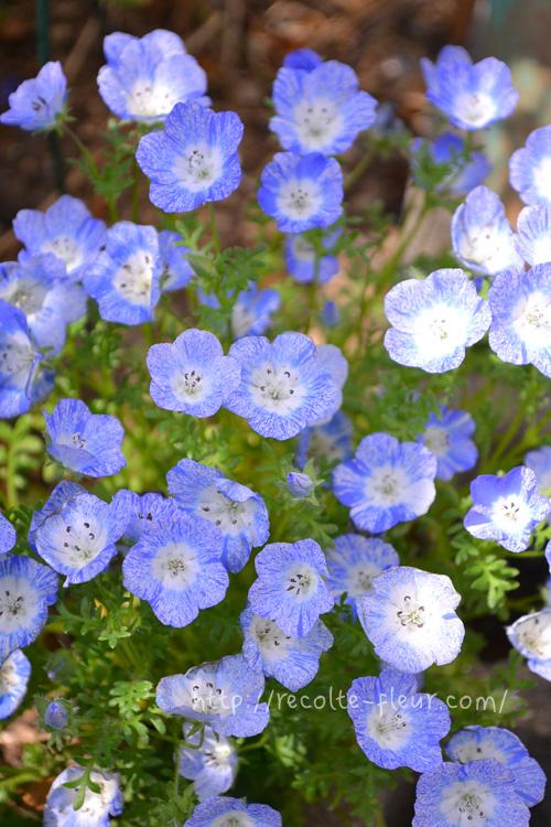 こちらはちょっとレア品種。霜降りのブルーのネモフィラです。