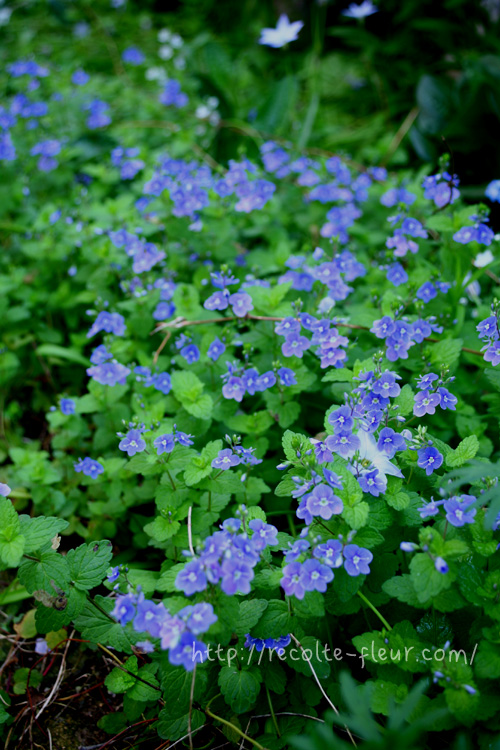 青い花 ベロニカオックスフォードブルー