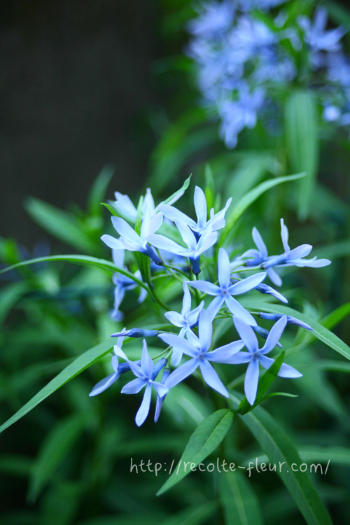 青い花 チョウジソウ