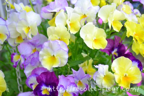 パンジー、ビオラは開花期間が長く、冬から春まで長く花を楽しめる一年草です。花色が豊富なので、春の寄せ植えにはかかせない植物のひとつ。最近は苗が晩秋から出回っているので、すでに植えこんだ方も多いのでは。最近は育種ビオラと言って、咲き方や色がますます豊富になってきています。そういったパンジー、ビオラの苗は初冬から年明けが出荷のピークです。こだわりの色や咲き方のパンジー、ビオラを育てたい方は早めに探すことをおすすめします!