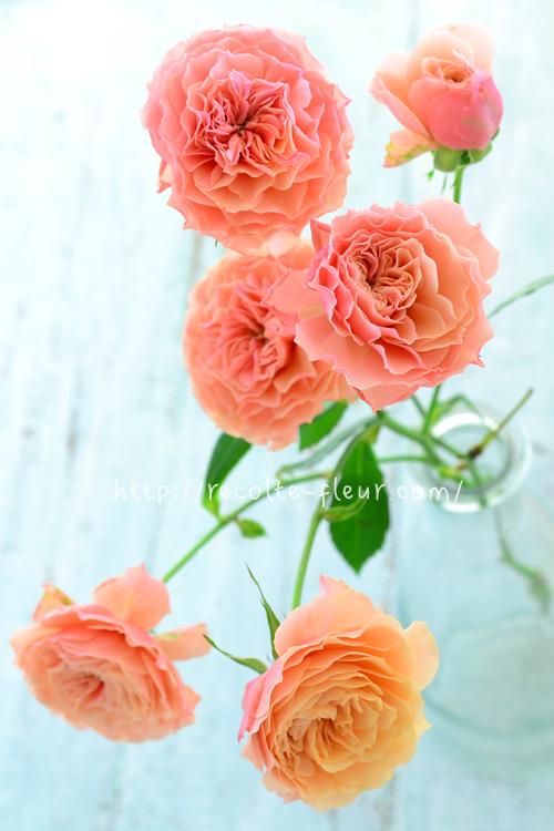 使用したスプレーバラは「リリカ」。アプリコットピンク色のバラです。