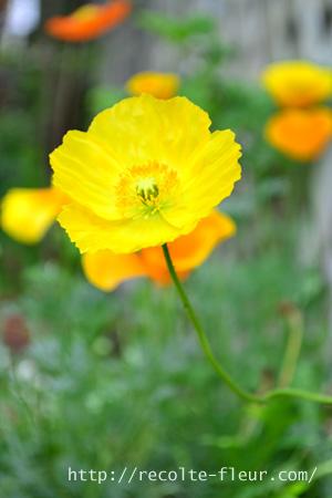 切り花のポピーとして一番出回っている品種です。ポピーは本来は多年草ですが、暑さや湿気に弱いため、日本では一年草として扱われています。苗で出回るのは、2月~3月ごろ。移植を嫌う性質なので、植える時には根を痛めないようにします。