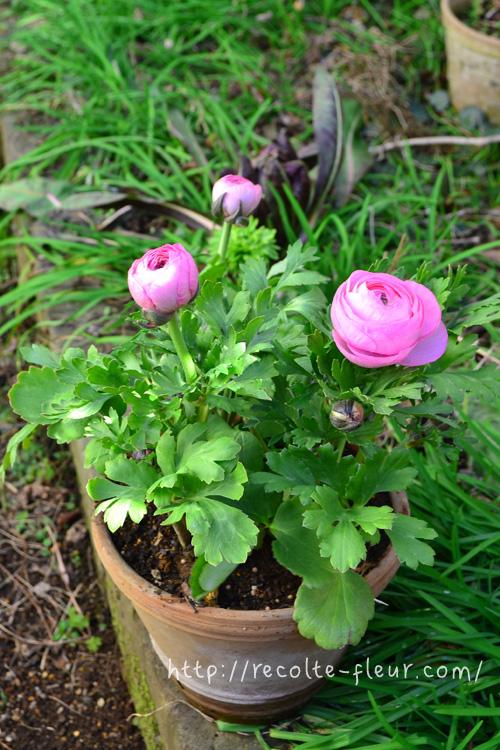 花のサイズは大きくなってきましたが、昼間でも花が開きません。  (ラナンキュラスはお日様に反応する花なので、昼間は開き、夜は閉じる性質があります)