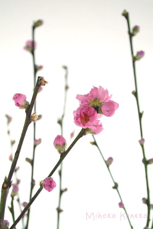 生けている最中に枝と枝がぶつかり合うと、つぼみが落ちやすいのでご注意ください。