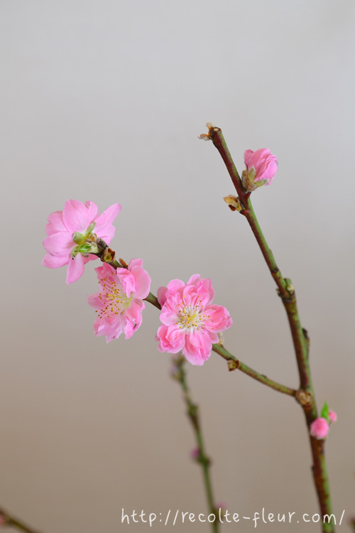 3月3日がひな祭りというお節句であることから、桃の枝の流通のピークは2月中旬~ひな祭りまでという期間ですが、実際に庭の桃の花が開花する時期は3月中旬以降で、桜とさほどかわらない時期に開花する花木です。