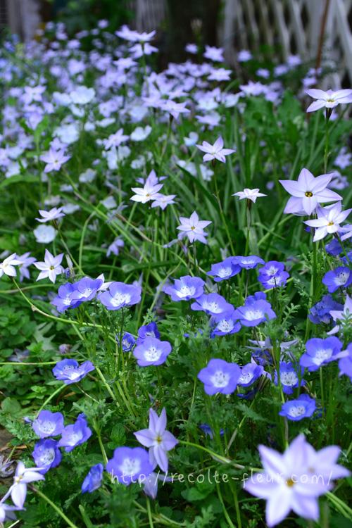 4月。花がどんどん咲いてきます。奥に咲いている星形の花はハナニラ。