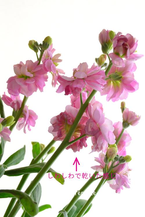 写真のように、スプレーストックの終わった花は、かさかさ、しわしわになってきます。この終わった花をつけたままにしていると、見た目的にどうしても枯れた花のように見えてしまいます。それを避けるため、切り戻しをする時に、終わった花を取り去ることが重要です。ちょっと手間ですが、この作業をやるとやらないのとでは、見た目の美しさががぜん差が出ます。