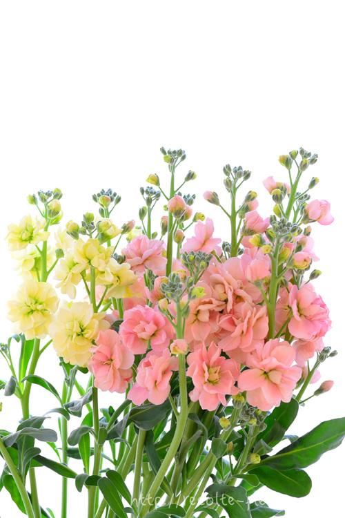スプレーストック  冬から春に出回る花で日持ちのするお花のひとつ、ストック。ストックは、1本の花に1つの穂状の花、スプレーストックは、1本の花に枝分かれして咲いている花を言います。  咲き方は一重咲きと八重咲きがありますが、花市場に出回っているのは、最近はほとんどは八重咲きです。  このストックは、お手入れをきちんとすれば、とても日持ちのする花材のひとつです。色は、ピンク系、写真ようなクリームイエロー、白、紫系など色数も豊富です。ピンクと紫は、カラーバリエーションもたくさんあります。