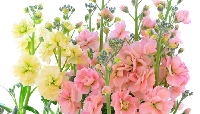 冬から春に出回る花で日持ちのする花のひとつ、ストック。一本にたくさんの小花を咲かせます。また、枝分かれして花を咲かせるスプレータイプも流通しています。咲き方は一重咲きと八重咲きがありますが、花市場に出回っているのは、最近はほとんどは八重咲きです。こまめに花がらを取りや水替えをすると、蕾も咲きます。