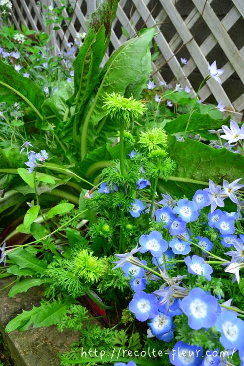 花壇の花は、ネモフィラやワスレナグサ、ハナニラ。花のような葉っぱのような役割をしてくれました。最後の花が終わったのは、5月頭くらいでした。