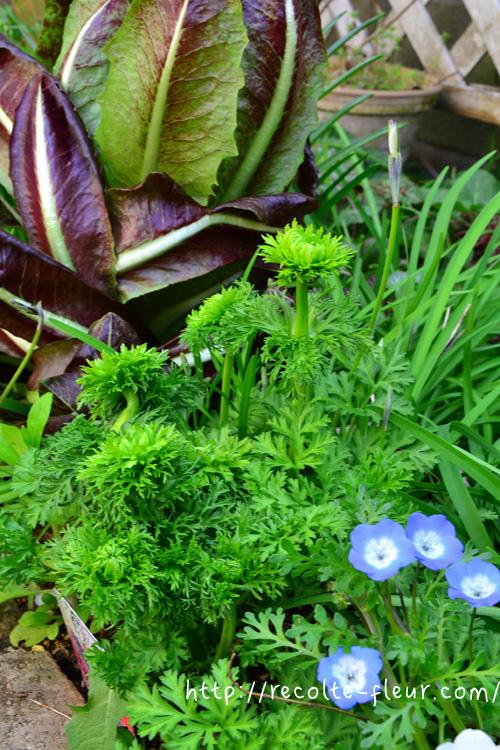 3月後半~4月 続々とつぼみが押しあがってきました。花も葉っぱみたいなのでモサモサです。緑の花は、寄せ植えに使ってもおもしろいですね。