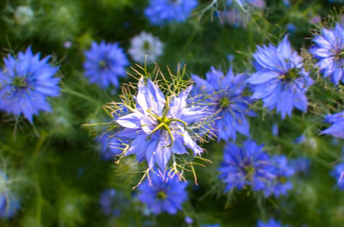 キンポウゲ科クロタネソウ属  細く分かれた葉に、ふんわり包み込まれるように、3㎝ほどの花が楚々と咲く「ニゲラ」。  空色の花を良く見かけますが、白やピンクなどもあります。ニゲラは別名「クロタネソウ」とも呼ばれます。ラテン語でニゲラは黒いの意味を持ち、別名も種が真っ黒なことから命名されました。  濃い青から淡い青まで幻想的で美しい。
