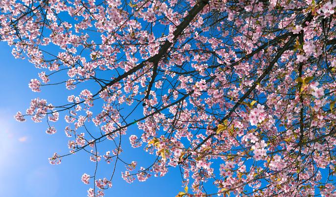 毎年桜を待ち焦がれ、桜の季節を迎えると日本人に生まれて良かったと感動する方も多い桜。この桜を見て楽しんだ後に、美味しいサクランボになったらいいなあと思いませんか?  北海道出身の私にとって、ソメイヨシノは美しいブランド花のようなもの、憧れの気持ちで遠くから本州の桜を眺めていました。実際に札幌で目にする桜は山桜や八重桜、そして今回ご紹介するセイヨウミザクラ(西洋実桜)でした。