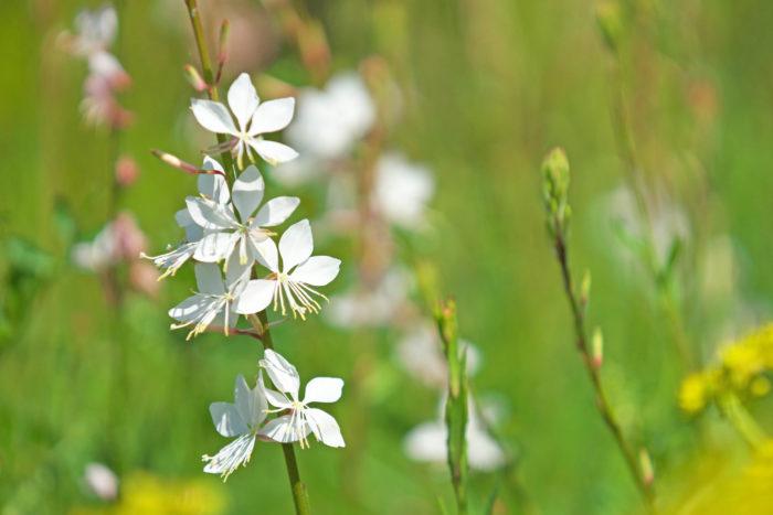 華奢な茎に白やピンクの花を咲かせ、風にそよぐ感じがとても可愛らしい宿根草。やせ地でも日陰でなければよく育ち丈夫です。