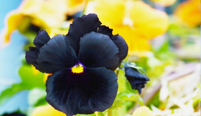 実際にお庭や寄せ植えの花を選ぶとき花数が多い花の方を選びますので、ビオラの方が人気があるようですが、最近はそれを打開すべく、パンジーの品種改良が進んでいます。花の色も多数あり、黒いパンジーもあります。