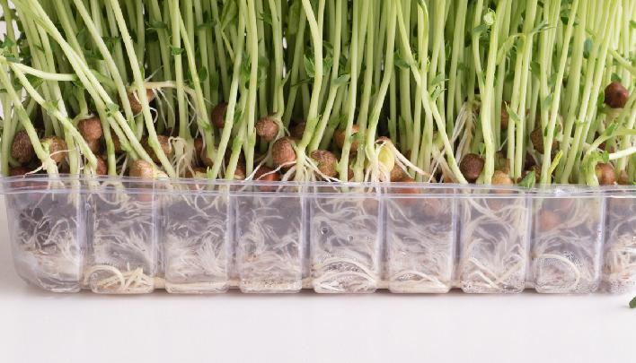 この時の水の量が重要です。種に水がかからないようにこの位がベスト。水は毎日取り換えましょう。  豆の発芽適温の20℃前後が豆苗を育てるのに適した温度です。日当たりのよい室内で育てることが良いようです。