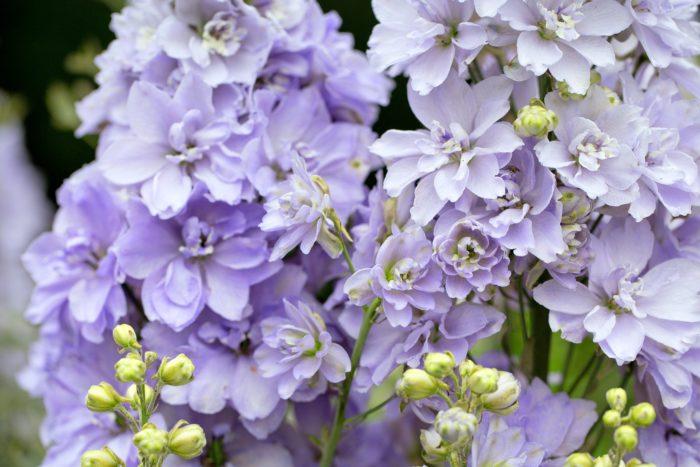 キンポウゲ科デルフィニウム属  実はデルフィニウムも、キンポウゲの仲間。デルフィニウムの花名は、ギリシャ語でイルカを意味する「delphis」を語源としています。デルフィニウムの花の咲く前のつぼみの形がイルカに似ていることからも由来されています。デルフィニウムは透けるような薄くて綺麗な花びらが魅力的ですよね。