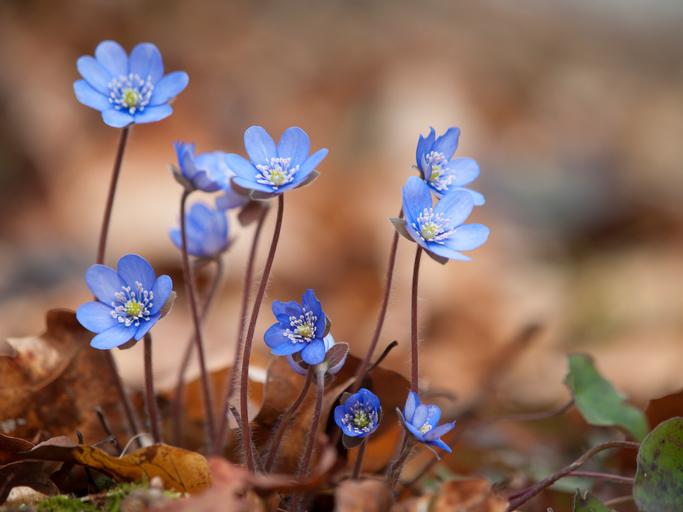 冬の寒い季節に花付き&花持ちも良い雪割草(ユキワリソウ)は昔から愛され親しまれてきました。