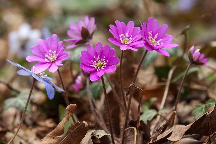2月下旬~4月、雪解けとともに開花。真冬の雪の下でも常緑でいることから雪を割って生長する草「雪割草(ユキワリソウ)」と呼ばれるようになりました。高山で咲くサクラソウ科サクラソウ属のユキワリソウとは別のもので区別する為に漢字表記されているそう。雪割草(ユキワリソウ)は新潟県では「県の草花」に指定されています。