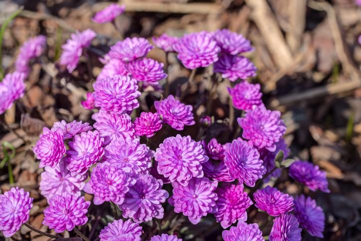 雪割草(ユキワリソウ)はおしべもめしべも数が決まっているわけではなく変異しやすいので多種多様な形が生み出され、その種類の多さが人々を魅了し続けています。