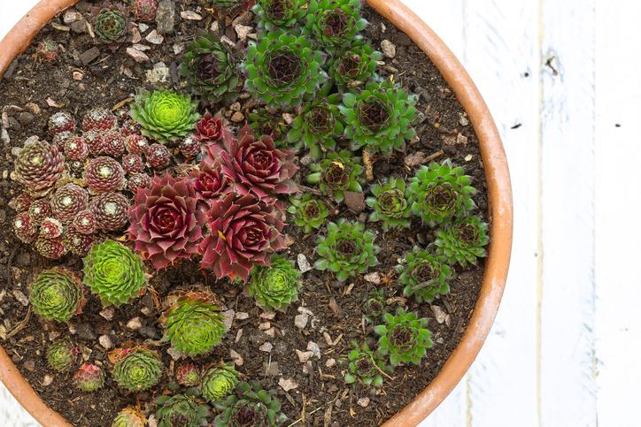 冬の寒さで紅葉し、春先暖かくなるとそれぞれの品種独自の色合いに発色しながら生長します。