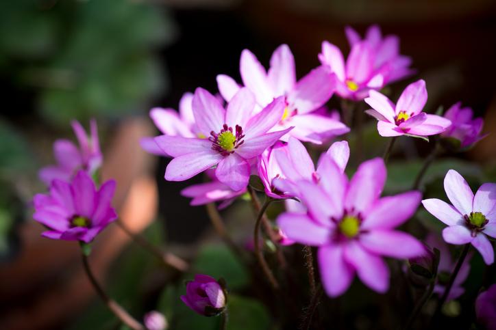 雪割草(ユキワリソウ)の花びらに見えるのは実は「がく片」、がくに見える部分は茎葉になります。
