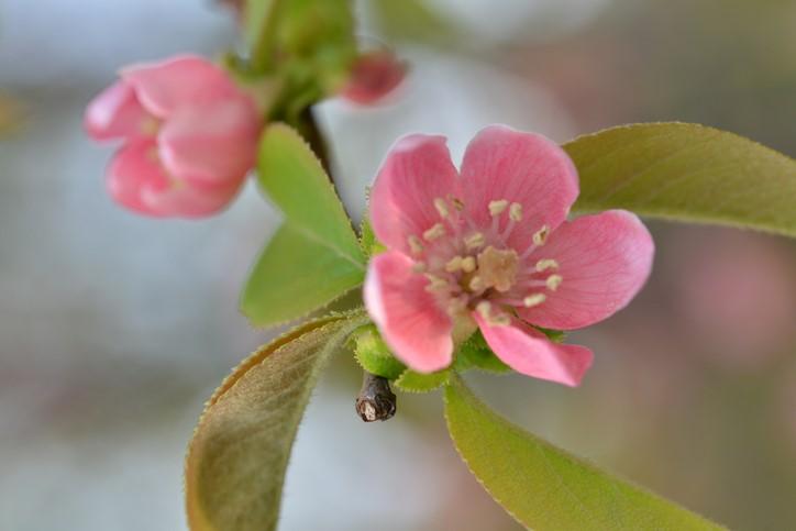 かりん カリン 花梨 Chinese quince