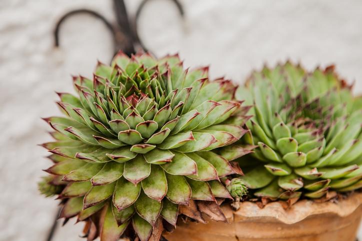 単体でお気に入りの鉢に植えてみたり。