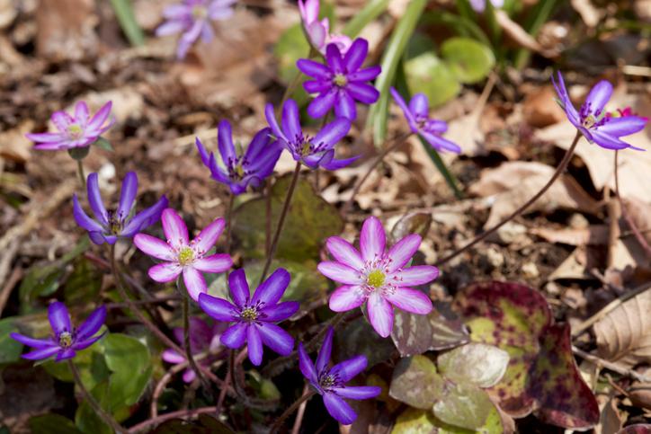 雪割草(ユキワリソウ)は斜面に自生している事が多いので多湿はNG。水はけ良い土に植えて表土が乾いてきたらたっぷりのお水を与えます。鉢の場合は秋頃から開花までの生長期には完全に土の表面が乾いてからあげましょう。