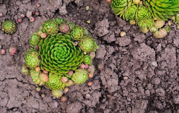 センペルビウムは、ヨーロッパの山岳地帯に約40種類が分布するロゼットタイプの多肉植物です。