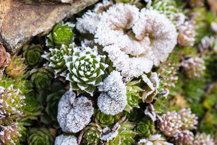 高温多湿に弱いので、梅雨から夏にかけては雨の当たらない風通しの良い半日陰になる場所で夏越しをさせます。寒さにはとても強く屋外での冬越しも可能です。庭植えする場合は水はけがよく、夏場に半日陰になる場所が適しています。