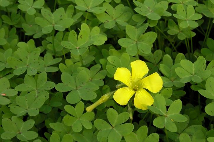 晴れた日の午前中に花が開き、夕方には眠るように花びらを折りたたむカタバミの花言葉は、「輝く心」、「喜び」。  緑色の葉の中で黄色い花が一際輝いて見えるカタバミの花を象徴するような花言葉ですね。