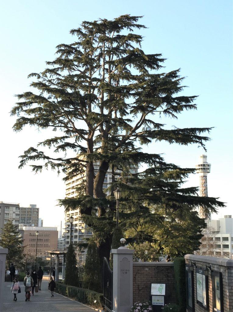シダーローズはヒマラヤ杉の松ぼっくり