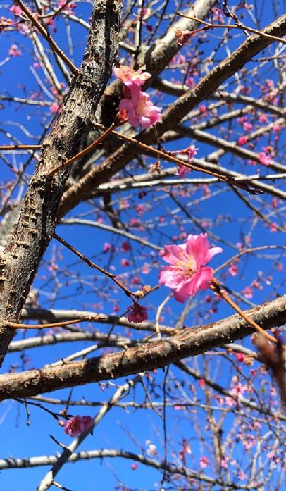 バラ科の落葉高木樹で、5mくらいになります。葉っぱが展開する前に花が咲き、濃いピンクの2cmくらいの花です。  一見すると、紅梅にも見えますがよく見たら桜にもみえますね。こちら、梅と桜のどちらに分類されるかというと、桜だそうです。  開花期は、気候にもよりますが晩秋の11月くらいから翌春の3月くらいまで咲き続けます。  花付きも良く、若い木でも開花してくれるそうですよ。梅よりも桜よりも早く開花する、不思議な桜です。