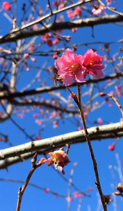 私の知っている限りでは、東京都薬用植物園と横浜イングリッシュガーデンで見ることができます。