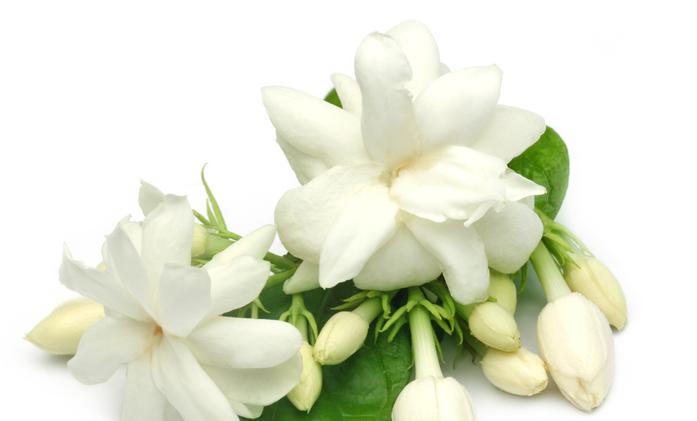 ハーブティーとしても人気なジャスミンティー。紅茶とも日本茶とも違う香りが癖になる美味しさです。中国の明の時代から飲まれているジャスミンティーの原料は、ジャスミンの花の香りです。  一般的に緑茶にジャスミンの花の香りを吸着させたもので、高額なものになると白茶や烏龍茶に吸着させたジャスミンティーもあります。工芸茶の花茶としても人気です。日本では、主に沖縄地方で「さんぴん茶」としてジャスミンティーがよく飲まれています。  この香料に使われているジャスミンは、白い花が可愛らしいモクセイ科ソケイ属のジャスミンです。香料として主に使用されている品種は、主にソケイ・マツリカという品種になります。