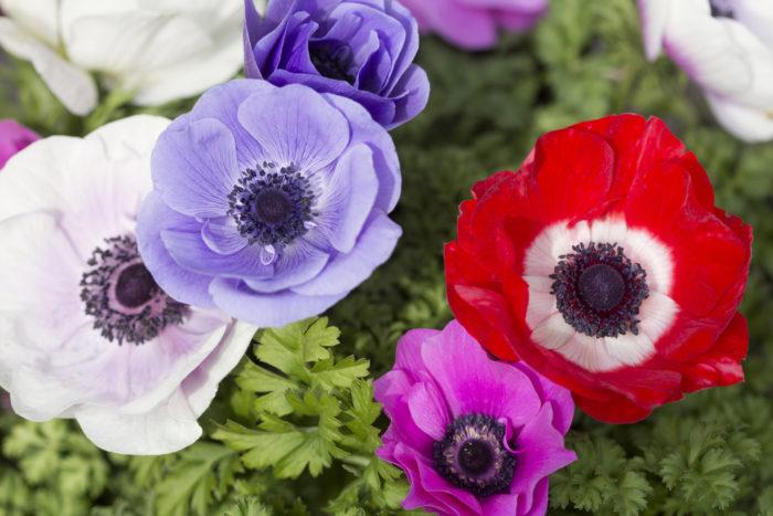 キンポウゲ科イチリンソウ属  アネモネの花名は、ギリシア語の「anemos(風)」に由来しています。春の最初のおだやかな風が吹き始める頃に花を咲かせることからきているといわれ、英語での別名も「Wind flower(風の花)」といいます。開いたり、閉じたりする美しい花ですね。  あまり知られていないことですが、アネモネは草全体に毒を持っています。  茎を切ったり折ったりしたときに出た汁が肌に触れると皮膚炎や水泡を引き起こすことがあります。古代エジプトでは「病気の印」とされ、この花の出す毒を吸うとひどい大病になるといわれました。このようなことはありませんが、毒を持っていることは確かなので、ガーデニングなどで扱うときは注意しましょう。