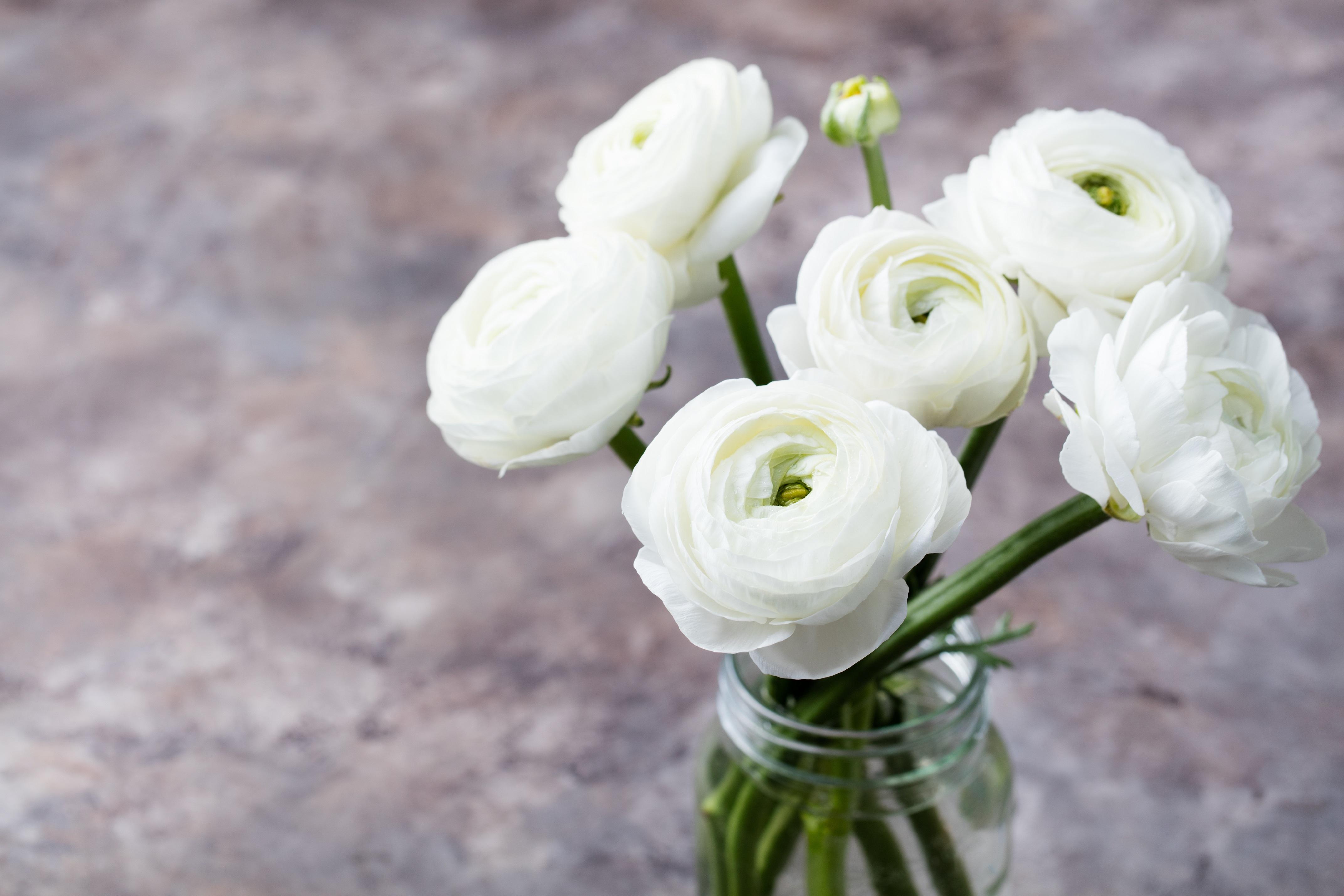 キンポウゲ科キンポウゲ属  ラナンキュラスの花は彩りがとても鮮やかなので、「色彩の鮮やかな金鳳花」から花金鳳花(ハナキンポウゲ)という和名がつきました。また、ラナンキュラスの原種は花びらが5枚の黄色い花で、その花がこんもりと金色に輝く姿からバターカップという別名を持ちます。春の花の中でも、人気の高い花です。