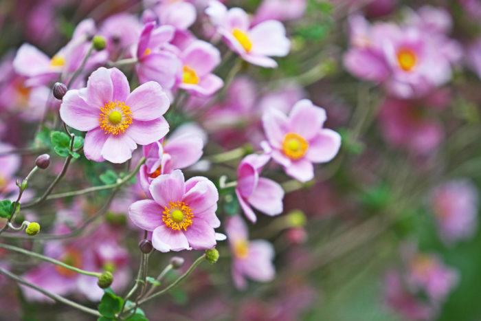 キンポウゲ科イチリンソウ属  アネモネよりも小さく可憐な雰囲気をまとっているシュウメイギク。茎に動きがあり、風に揺れる感じがはかなげです。花だけをみるとアネモネとそっくり!秋明菊(しゅうめいぎく)はジャパニーズアネモネとも言われています。自然に咲く姿も、私たちを魅了させますね。