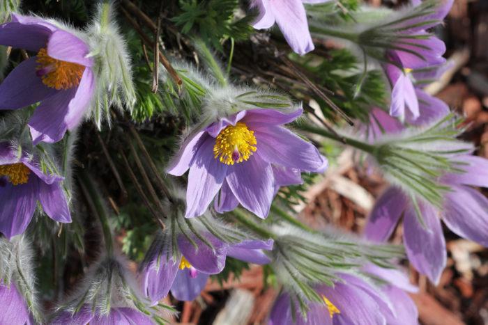 キンポウゲ科オキナグサ属 山野草に属する植物で乱獲により自生のオキナグサは絶滅危惧種になっています。多年草なので次の年も咲かせてくれるのが嬉しいです。花が終わるとたんぽぽのように綿毛を付けます。 こちらのオキナグサも、落ち着いた雰囲気が良い。