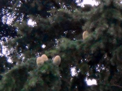 横浜市アメリカ山公園にて撮影  ヒマラヤ杉は、秋になると雄花と雌花を咲かせ、その後球果を、枝の上に直立してつけます。  球果(きゅうか)とは、マツ科、スギ科、ヒノキ科などの樹がつける卵型の実のこと。雌花が受粉して球果になります。  ヒマラヤ杉の開花期は10~11月。受粉して球果ができるのは翌年の10~11月。それから成熟するのに一年。  雌花は小さくて高いところに上向きにつくので、観察が困難と言われています。しかも、樹齢30年を超えないと雌花(開花時は約5mm)を付けず、数も雄花に比べずっと少ないそう。開花期、雄花は花粉症の原因となる真黄色の花粉をまき散らします。花粉をまき散らした後は、樹下に落ちます。ヒマラヤ杉の球果は、成熟すると種子の入った種子鱗片(しゅしりんぺん)、種鱗(しゅりん)が球果の軸から離れ、離散します。  自然界では、ヒマラヤ杉の実(球果)の鱗片の隙間にある種は風に飛ばされ、鱗片は重たいのでパラパラとヒマラヤスギの根元に落ちます。球果の先端は、バラバラにならずそのまま落ちてきます。これが『シダーローズ(Cedar rose)』です。また、シダーローズが拾える時期は、11月末~1月末ごろです。台風の後は、比較的発見率が高いかと思います。ただし、落ちてからすぐ拾わないと、虫が住み着いてしまう可能性があります。虫退治はやっかいです…。