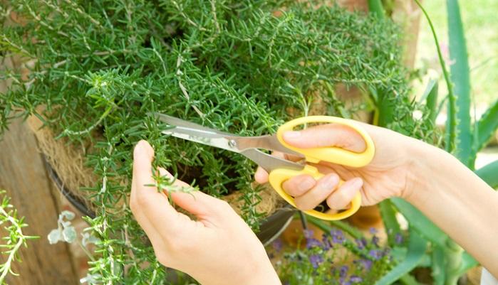 ローズマリーといえば、お庭やベランダで育てながら1年を通して収穫可能な人気のハーブですね。育てている方も多いのではないでしょうか。育てやすいだけでなく、生活に取り入れやすいハーブとしても満足度の高いハーブではないでしょうか。