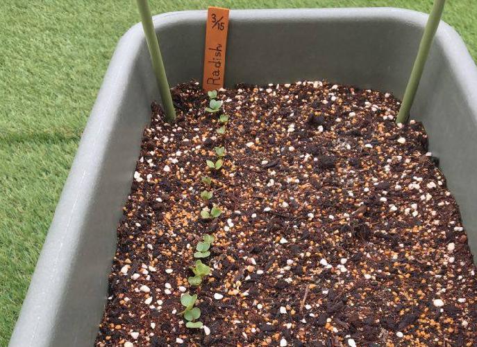 すじまきしたラディッシュの発芽  みなさんのラディッシュの種は発芽しましたか?  まだ発芽していない場合には次のことが考えられます。