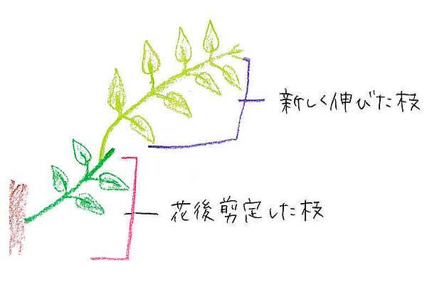 するとカットしたところから夏~秋頃に新芽が吹きます。この新しく伸びた枝は、翌年の花芽となる枝なので、大事にとっておきます。