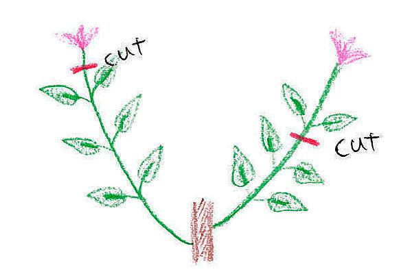 旧枝咲きは、あまりバッサリと切ることが出来ません。花が終わった枝はすぐに花首または花首より一つ下の節でカットします。赤い線で示したところで切ってください。