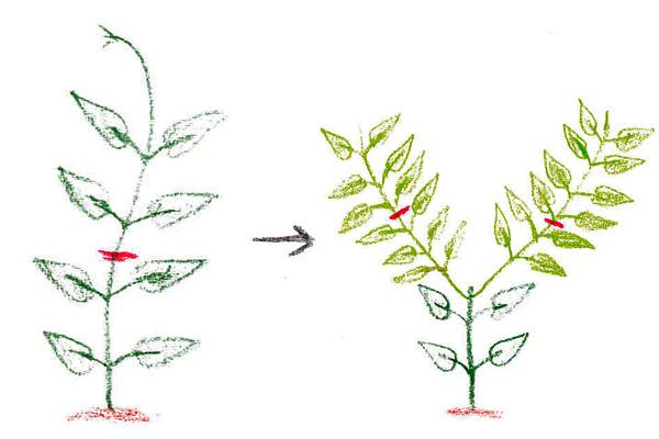 赤い線のところでカットすると、分枝して2本になります。この時も、節の真ん中でカットします。  更に新芽の3節目あたりで再び切ると枝は4本になります。初めの1年目はこの程度にとどめておきましょう。  尚、2.5号ポットに植わっているような小さい苗を庭植えしたい場合は、大きくなるまで1~2年は鉢で育てましょう。