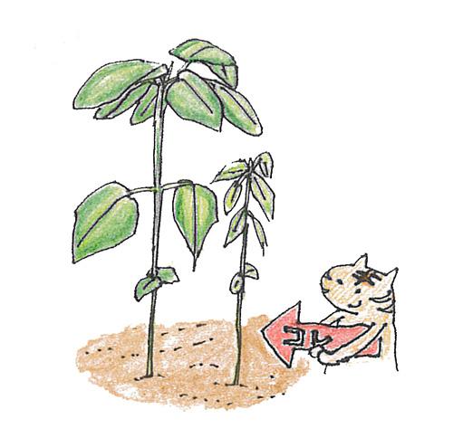 ・2回目  2~3本立ちで本葉3~4枚の頃まで生長したら、また生育の遅いものを1本間引いて1本立ちにします。  30~50cm間隔が目安ですが、植物の種類ごとに異なります。ちなみに、オクラやインゲンなどは2本立ちのまま育てる作物もあります。それぞれの作物に合った本数、株間をとりましょう。