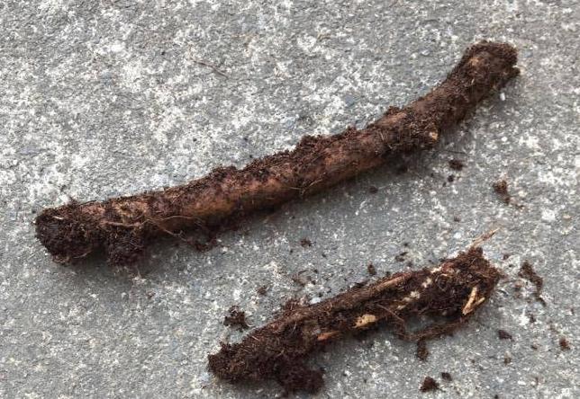 ふきのとうの地下茎  100均で購入したふきのとうです。ゴボウを短く切ったような小さい地下茎です。  地植えにして育てるとガーデニングのグランドカバーとして庭一面に広がりますが、今回はプランター栽培ですのでしっかり日頃のお手入れしながら育てましょう。